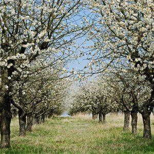 Baumblüte, Frühling
