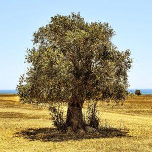 Spanien, Olivenbaum