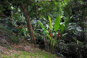 Karibischer Urwald